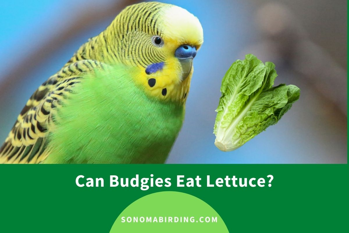 Can Budgies Eat Lettuce