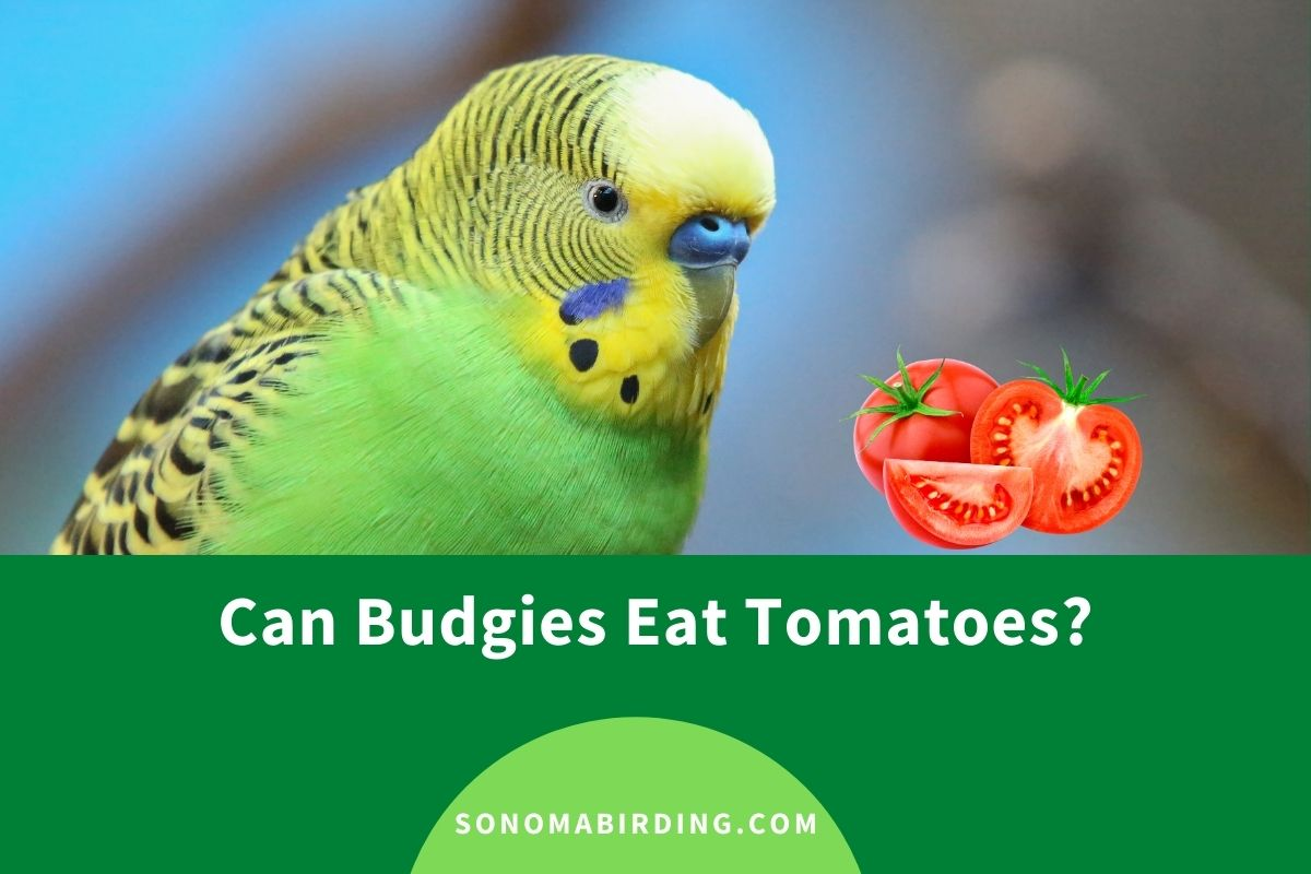 Can Budgies Eat Tomatoes