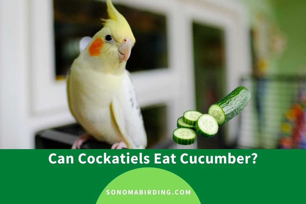 Can Cockatiels Eat Cucumber