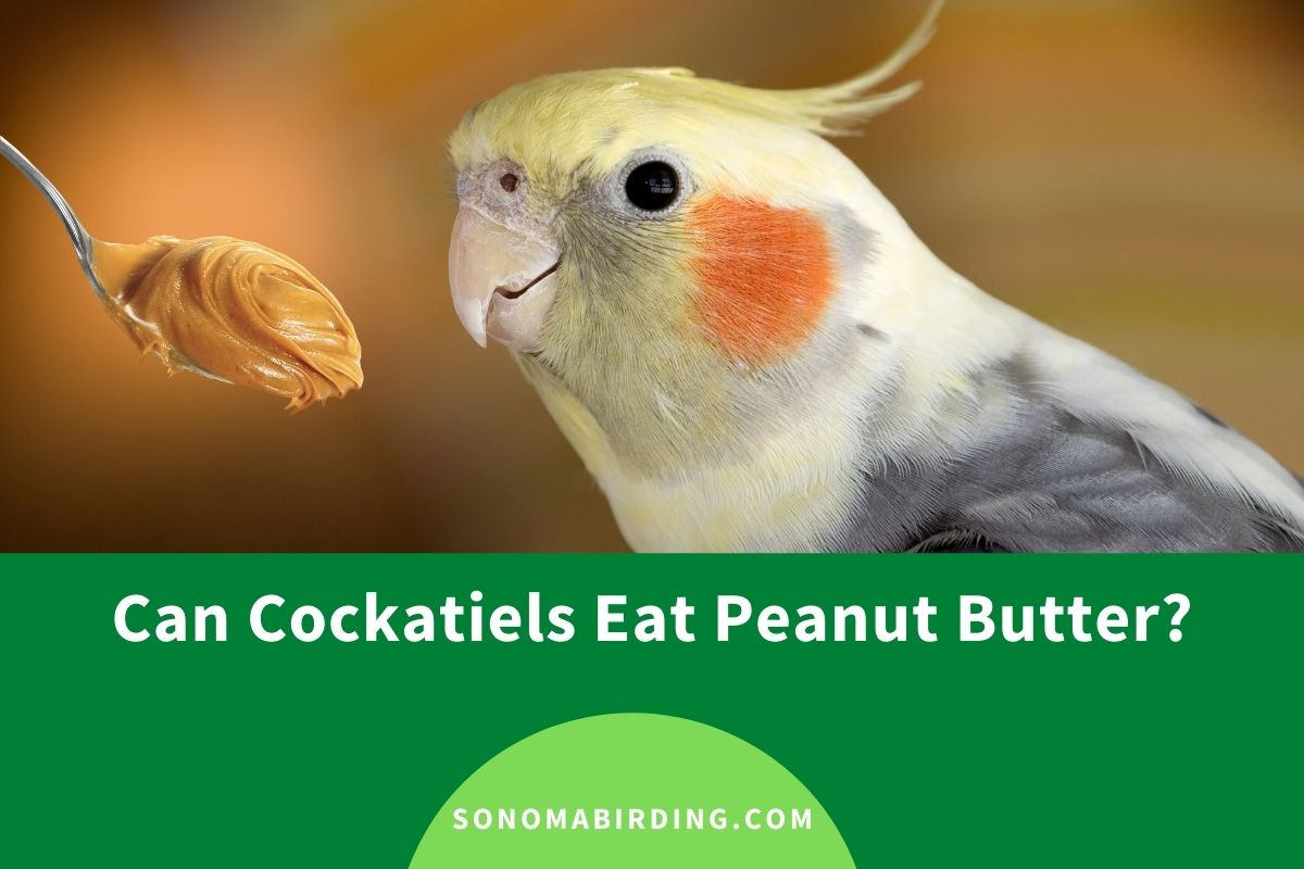 Can Cockatiels Eat Peanut Butter