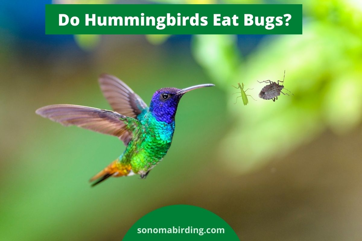 Do Hummiangbirds Eat Bugs