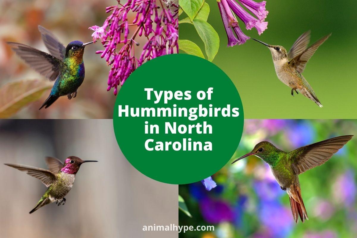 Hummingbirds in North Carolina