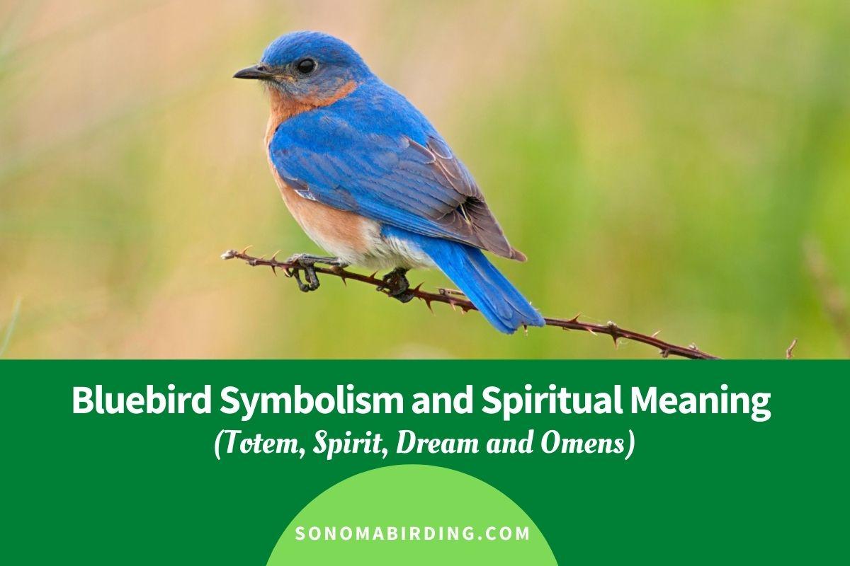 Bluebird Symbolism and Spiritual Meaning