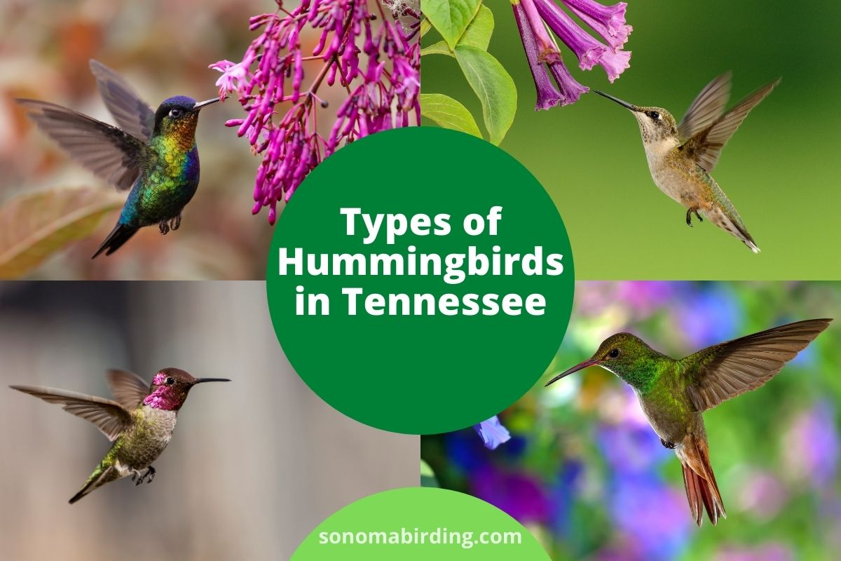 Hummingbirds in Tennessee