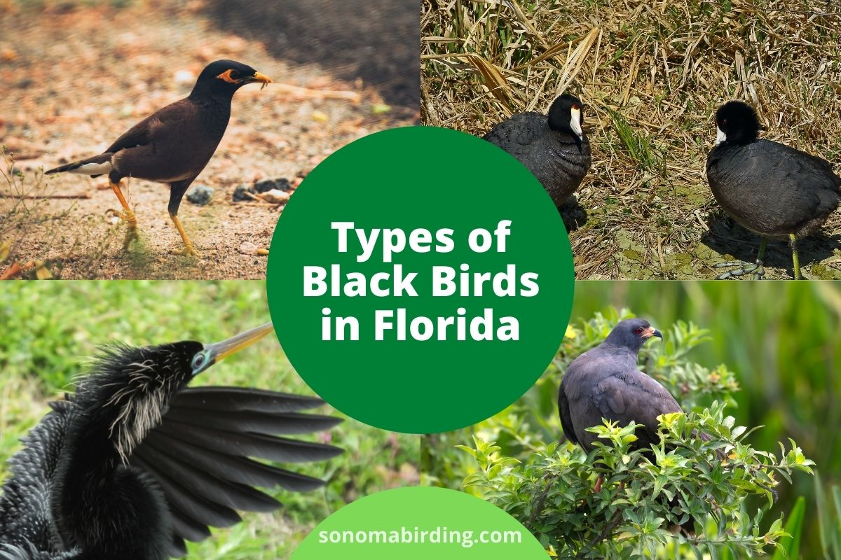 Black Birds in Florida