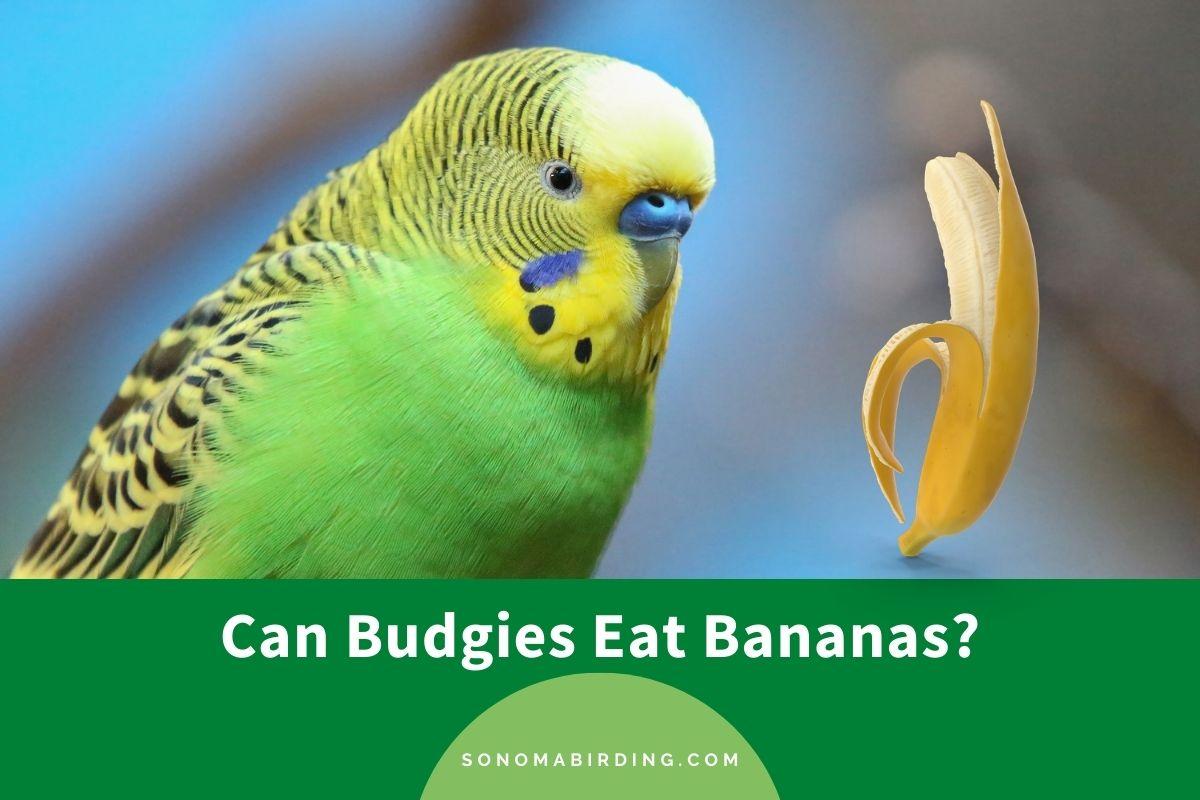 Can Budgies Eat Bananas