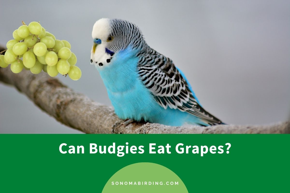 Can Budgies Eat Grapes
