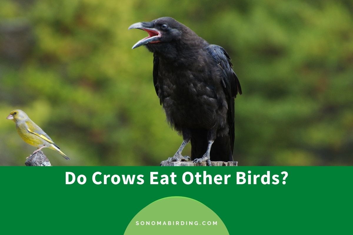Do Crows Eat Other Birds
