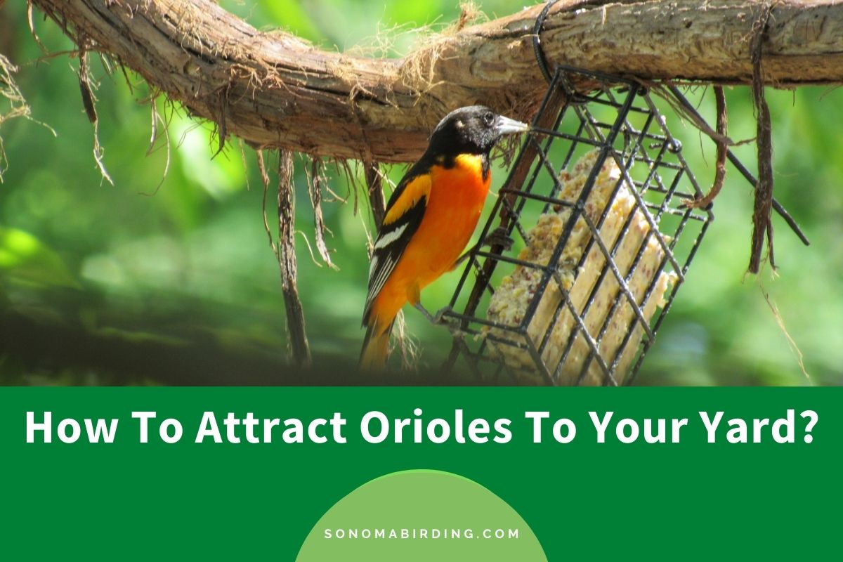 How To Attract Orioles To Your Yard