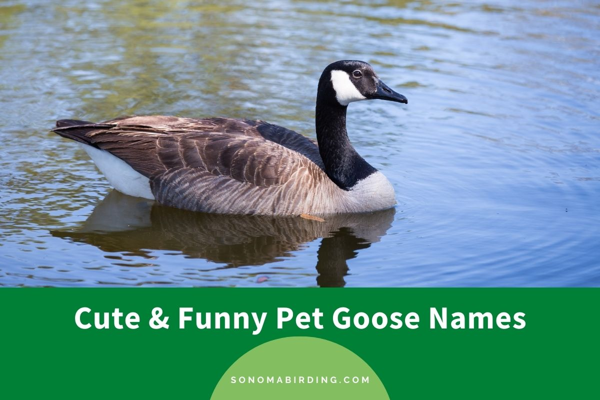 Pet Goose Names