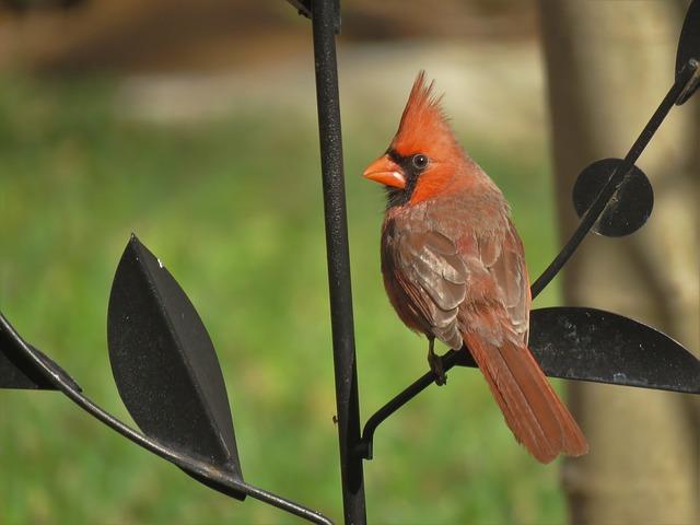 Cardinals lifespan