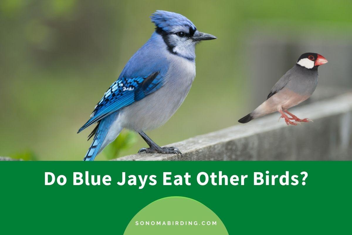 Do Blue Jays Eat Other Birds