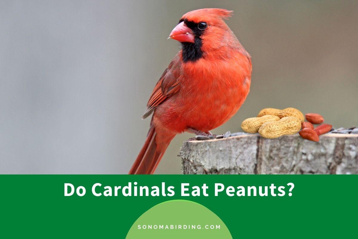 Do Cardinals Eat Peanuts