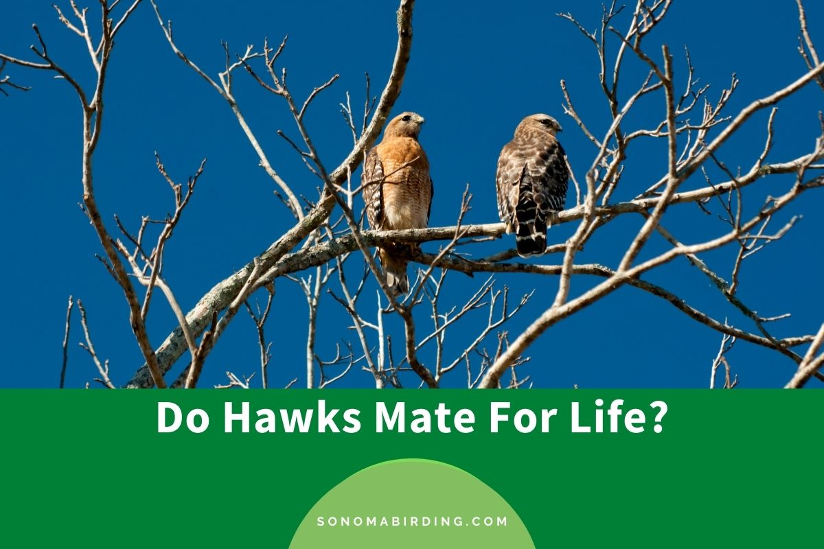Do Hawks Mate For Life