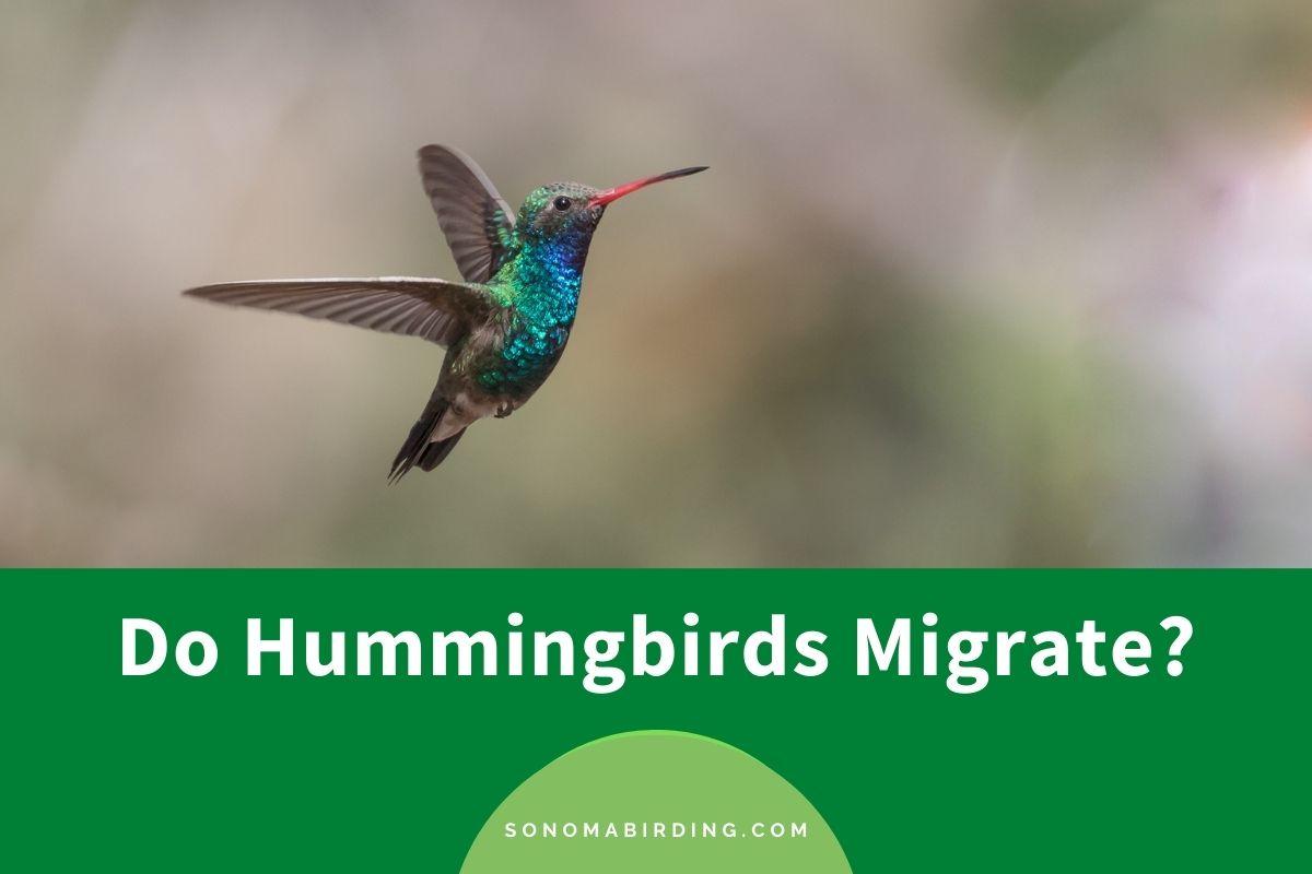Do Hummingbirds Migrate