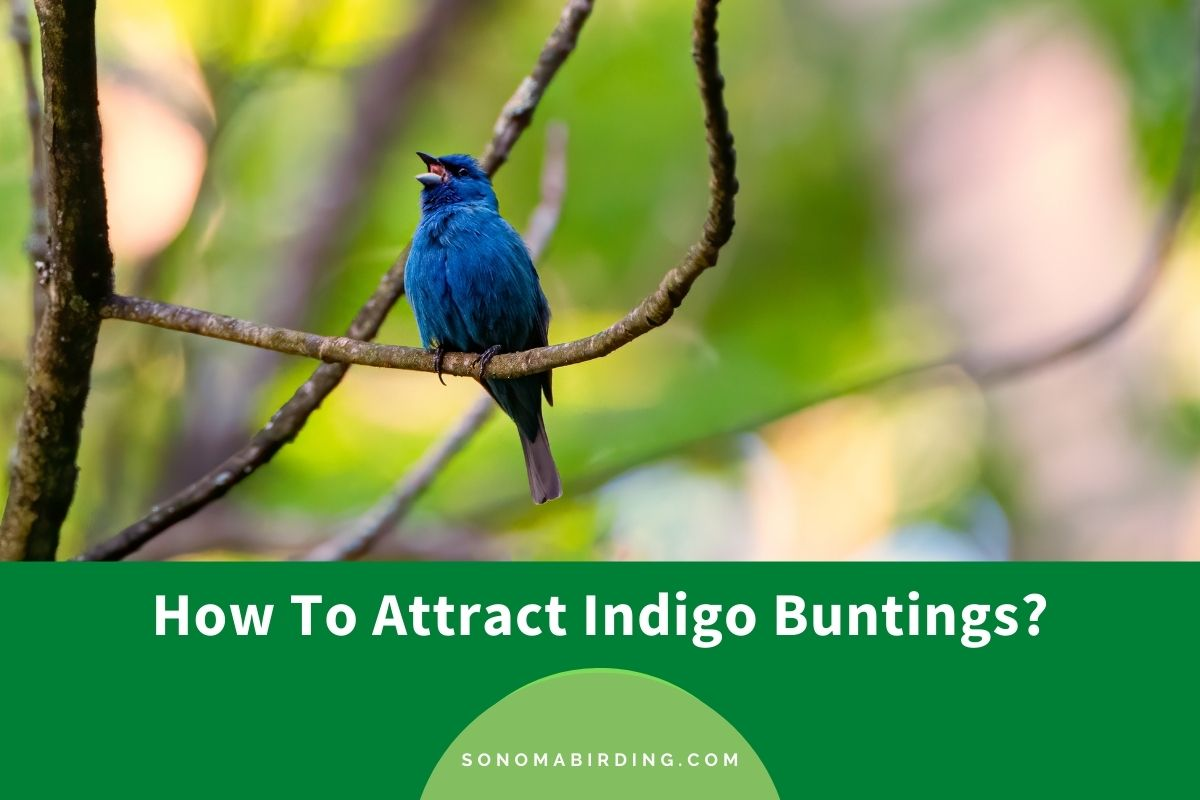 How To Attract Indigo Buntings