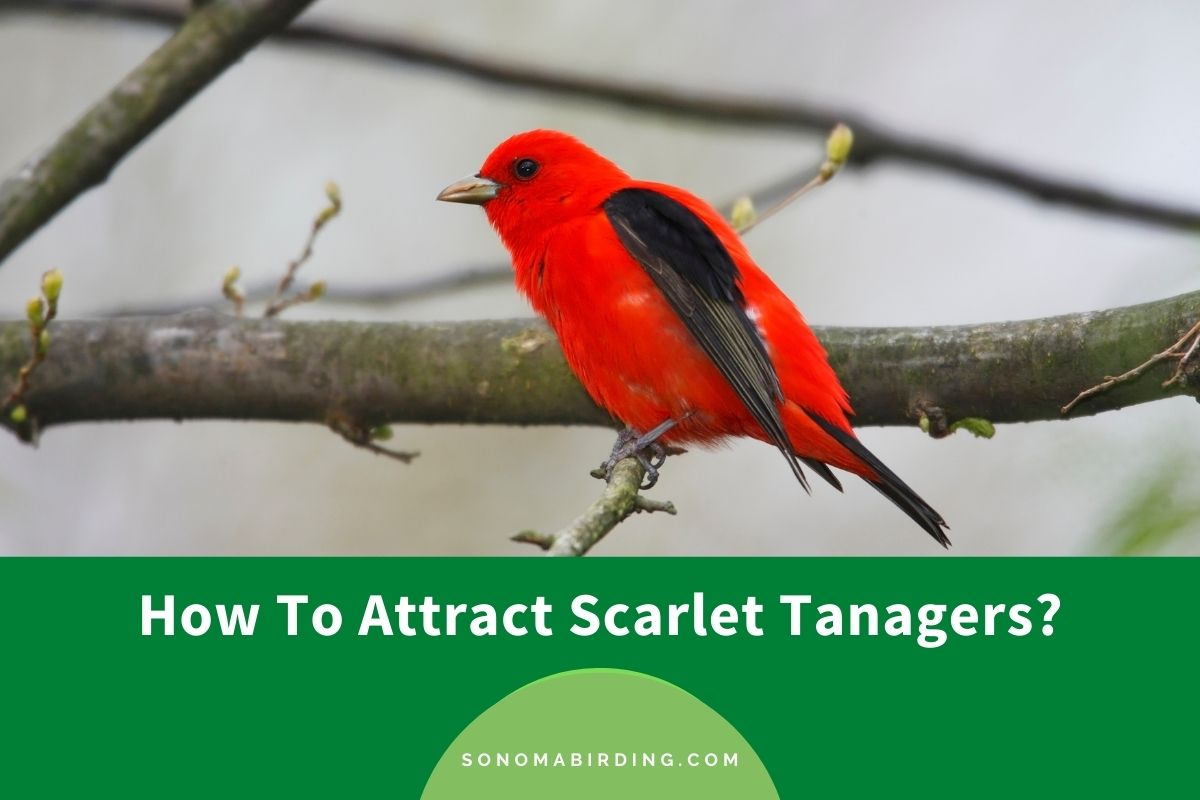 How To Attract Scarlet Tanagers