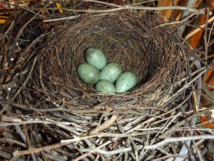 Blue Jays Nest
