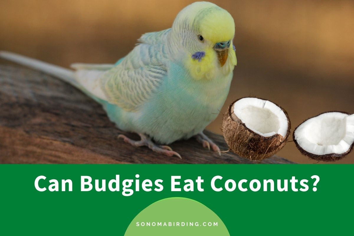 Can Budgies Eat Coconuts