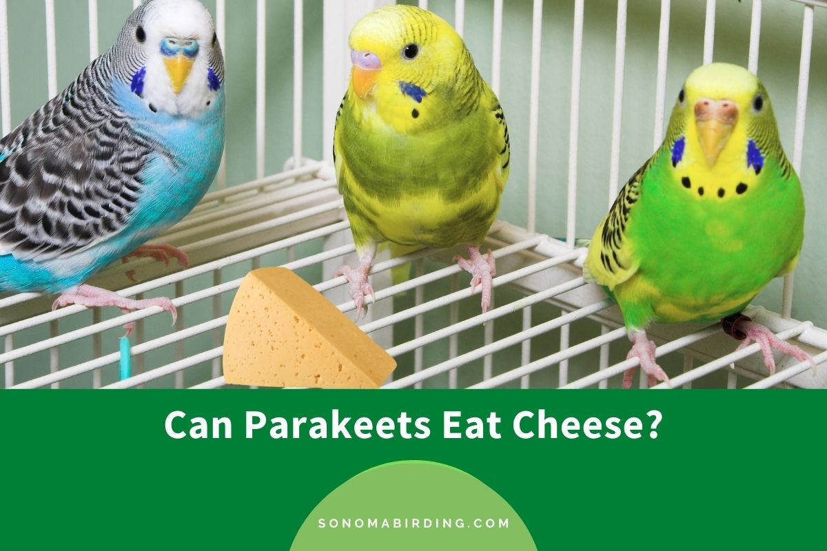 Can Parakeets Eat Cheese