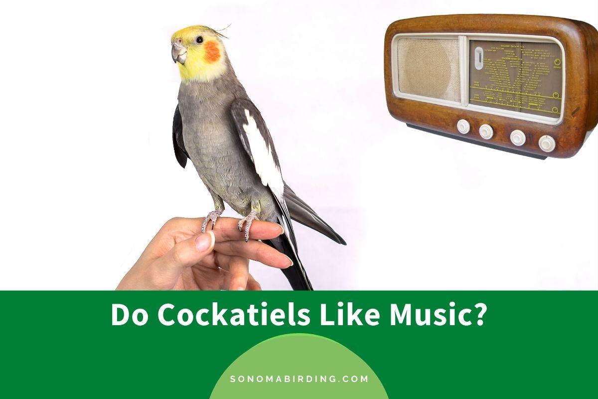 Do Cockatiels Like Music