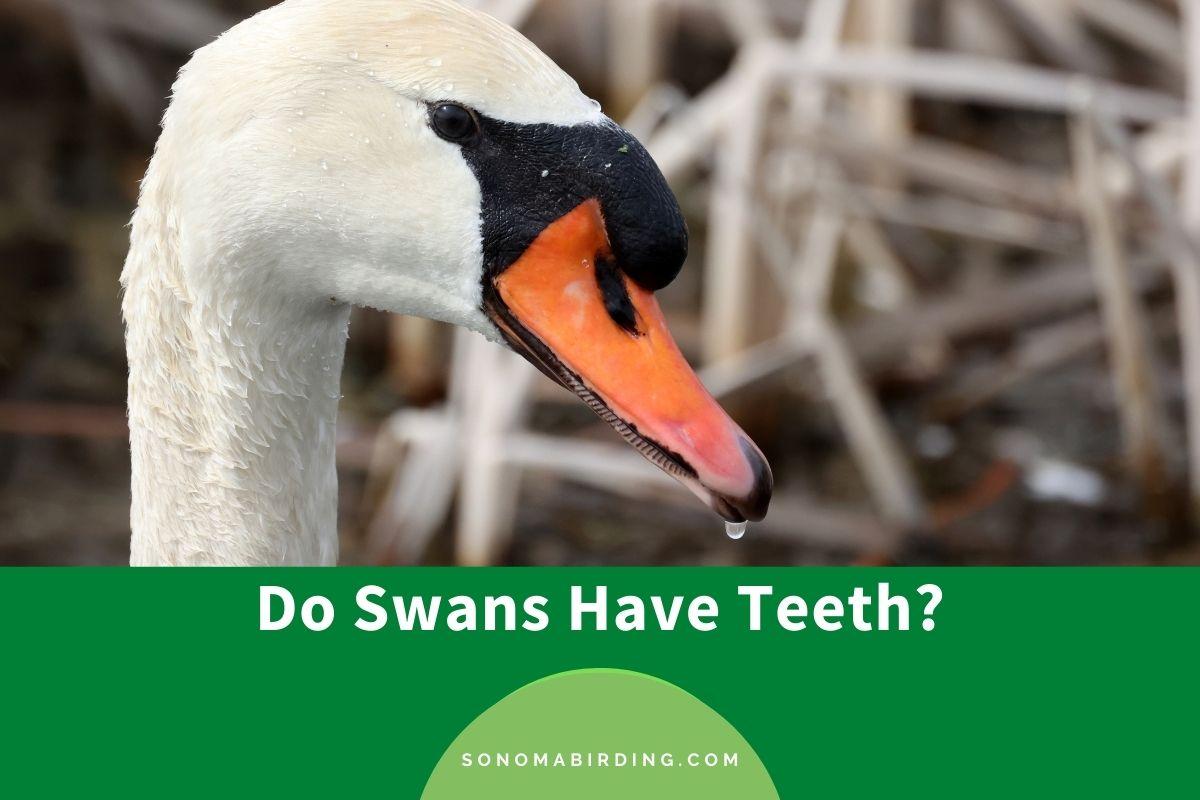 Do Swans Have Teeth
