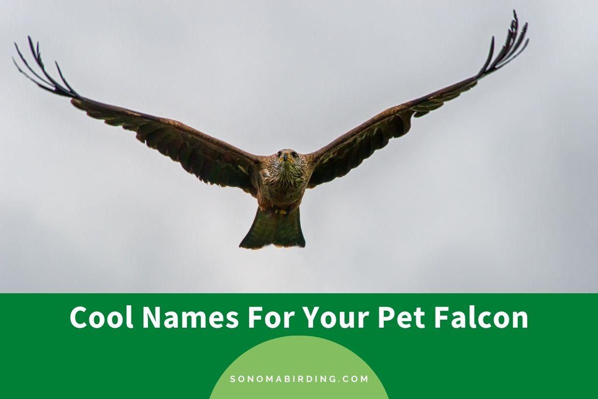 Falcon Names