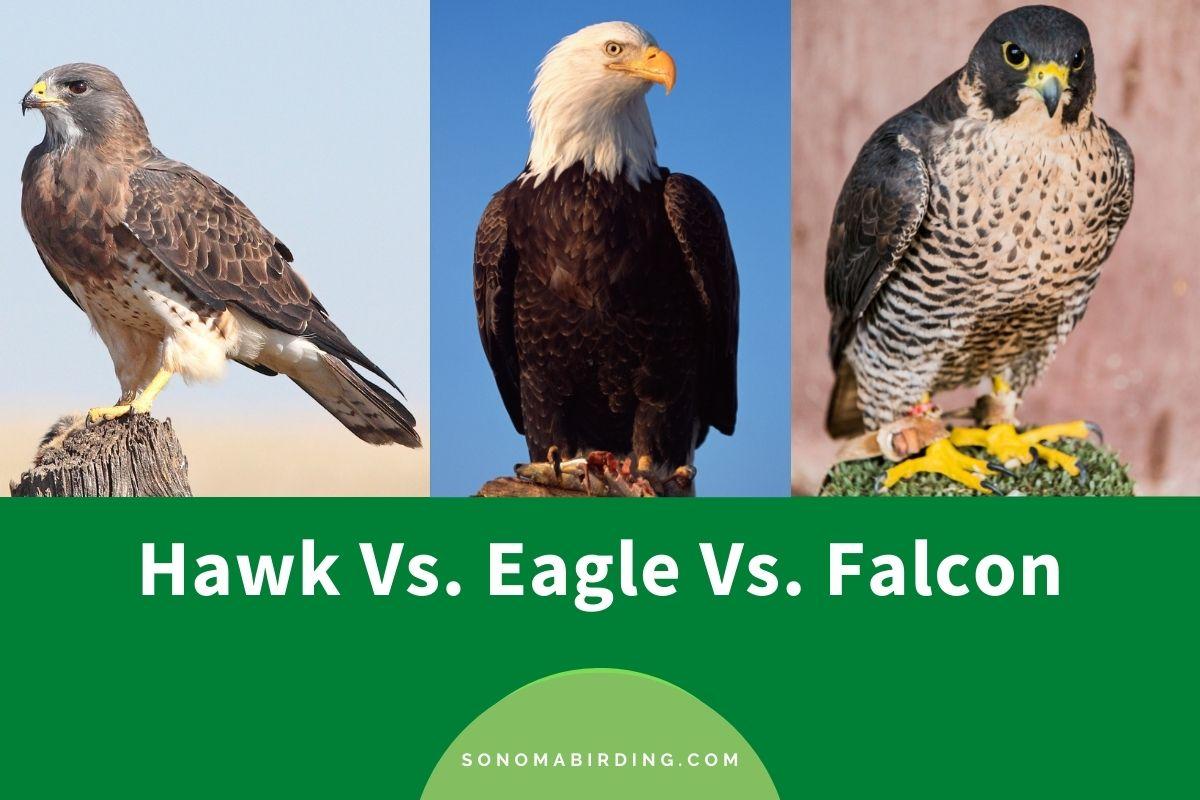Hawk vs Eagle vs Falcon