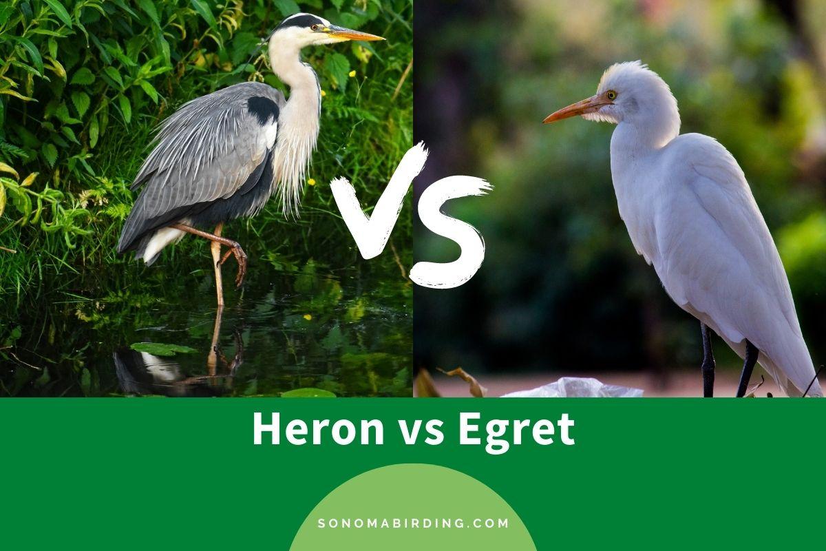Heron vs Egret