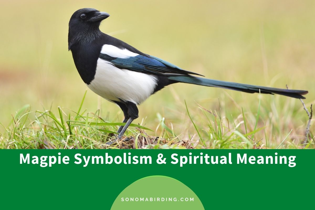 Magpie Symbolism and Spiritual Meaning