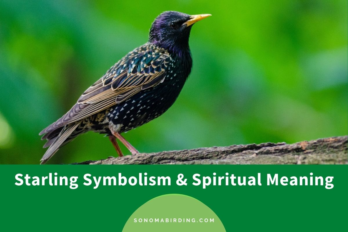 Starling symbolism and spiritual meaning