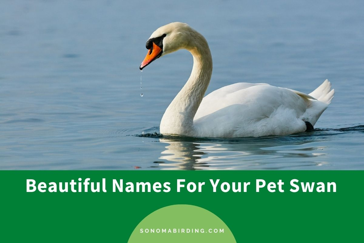 Swan Names