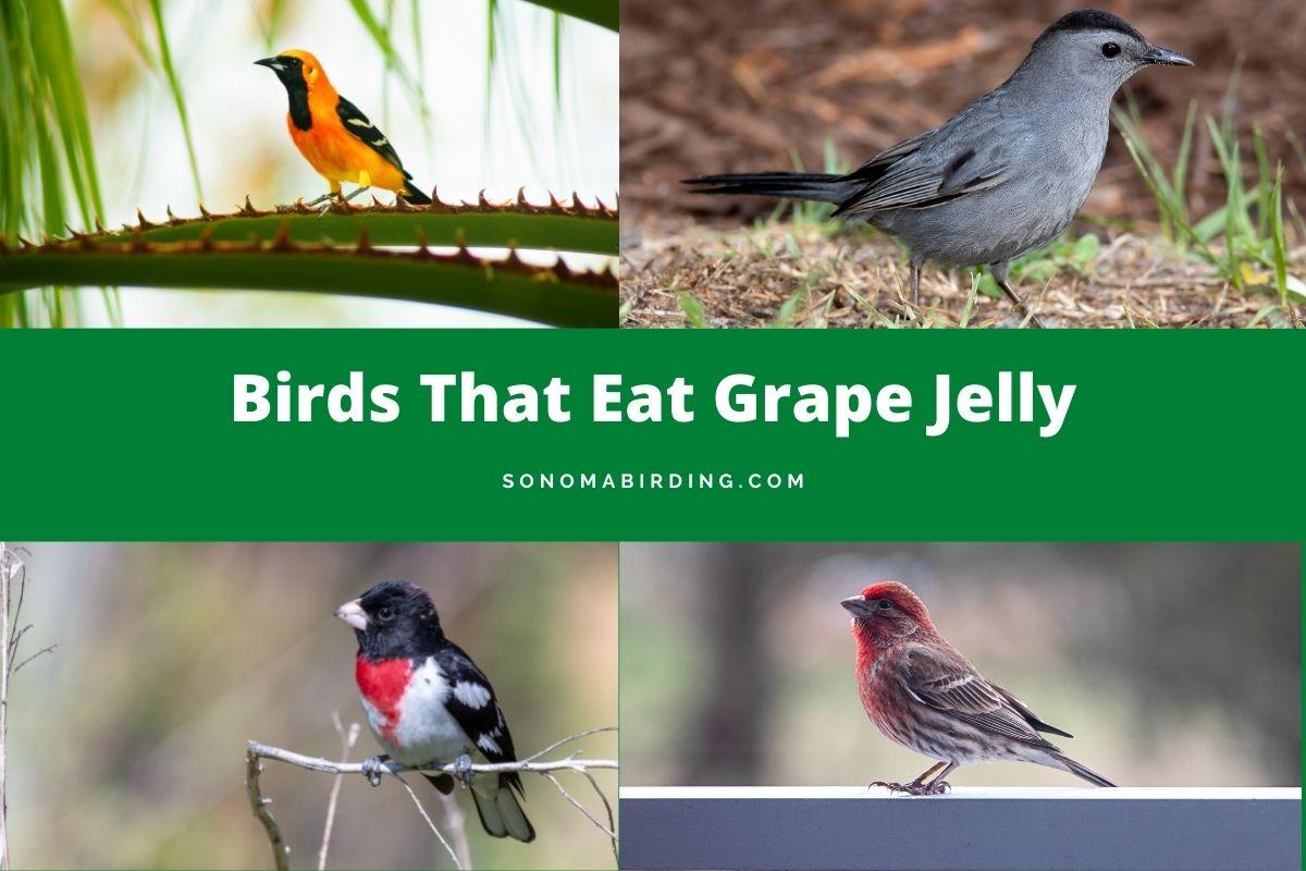 Birds That Eat Grape Jelly