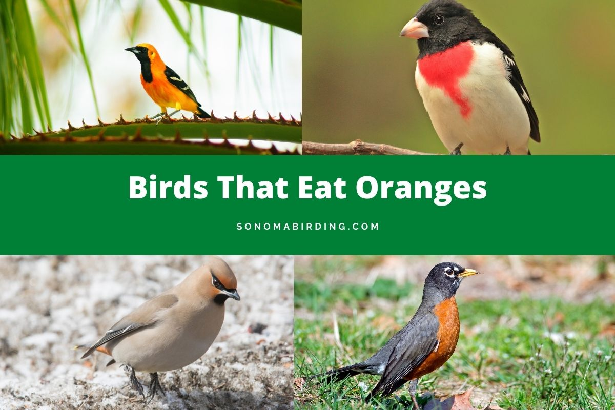 Birds that eat oranges