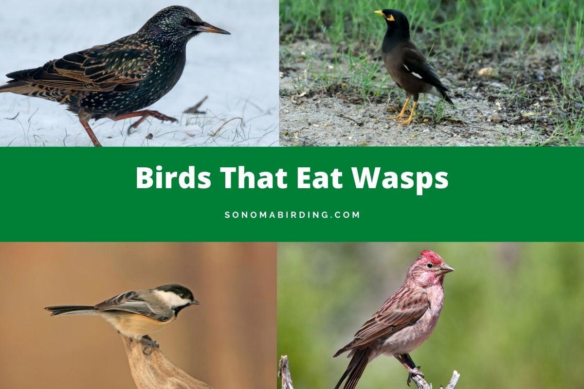 Birds That Eat Wasps
