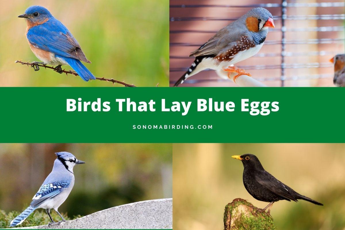 Birds That Lay Blue Eggs