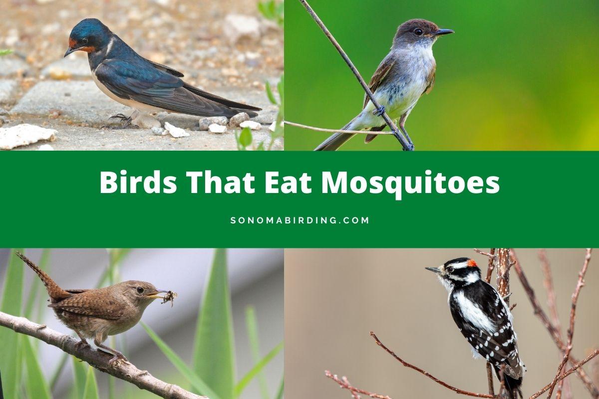 Birds that eat mosquitoes
