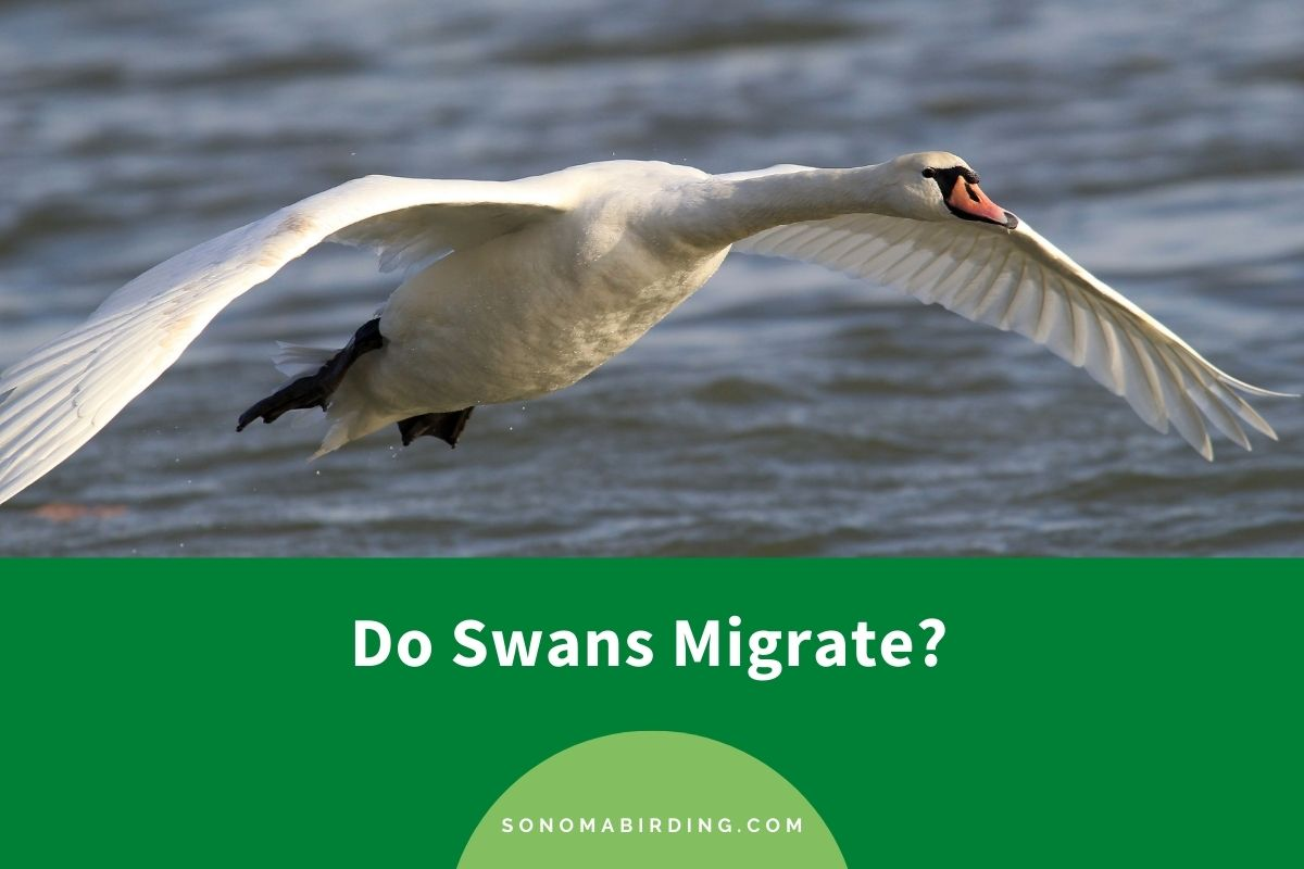 Do Swans Migrate