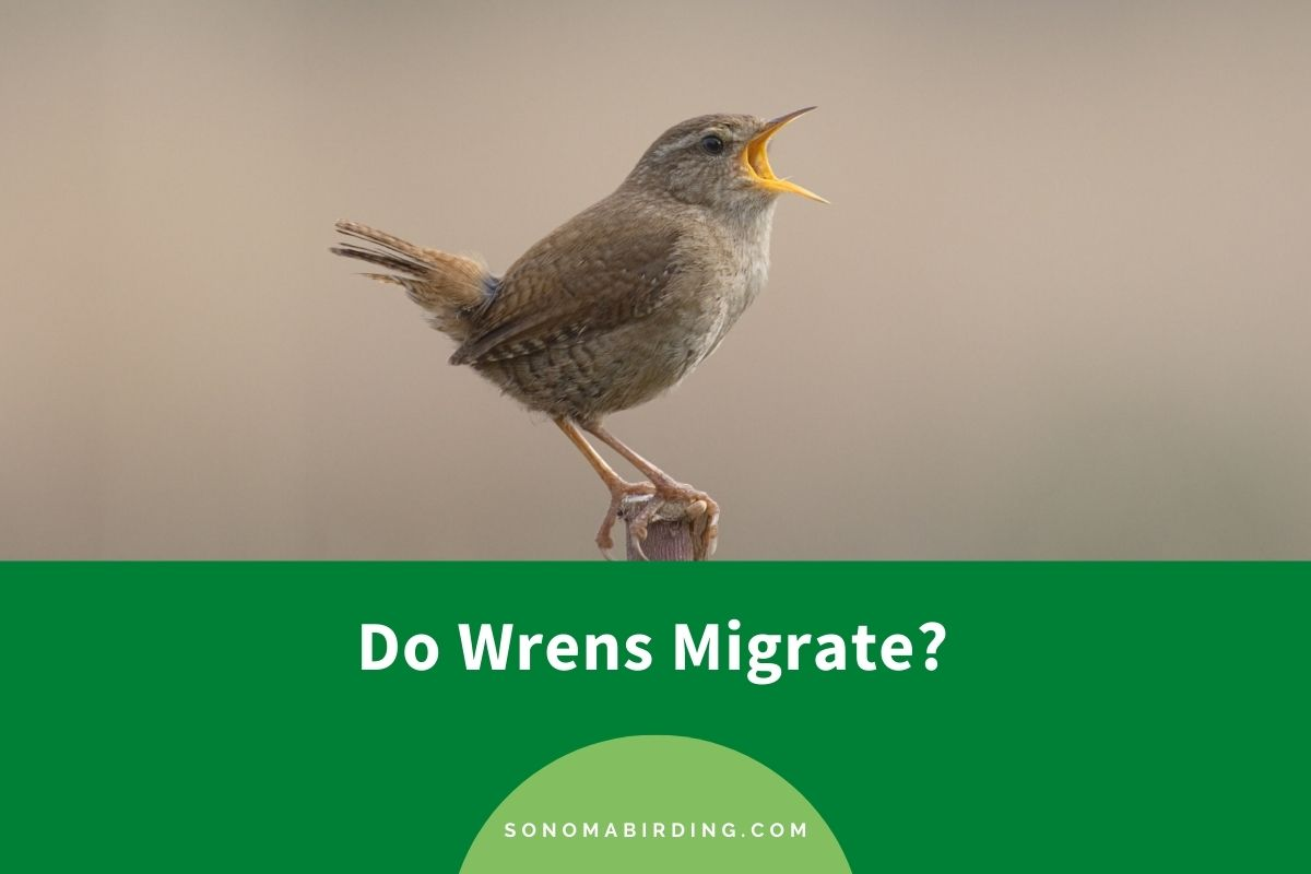 Do Wrens Migrate