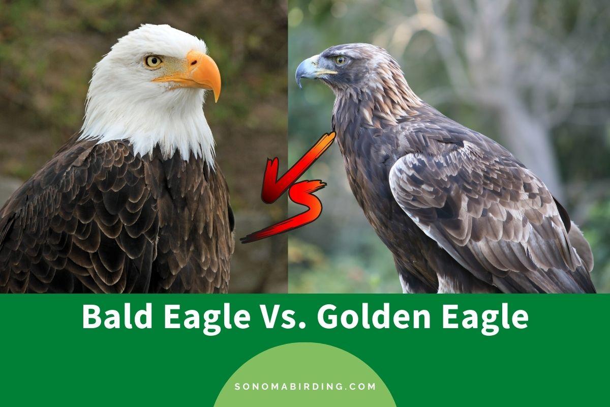 Bald Eagle Vs Golden Eagle