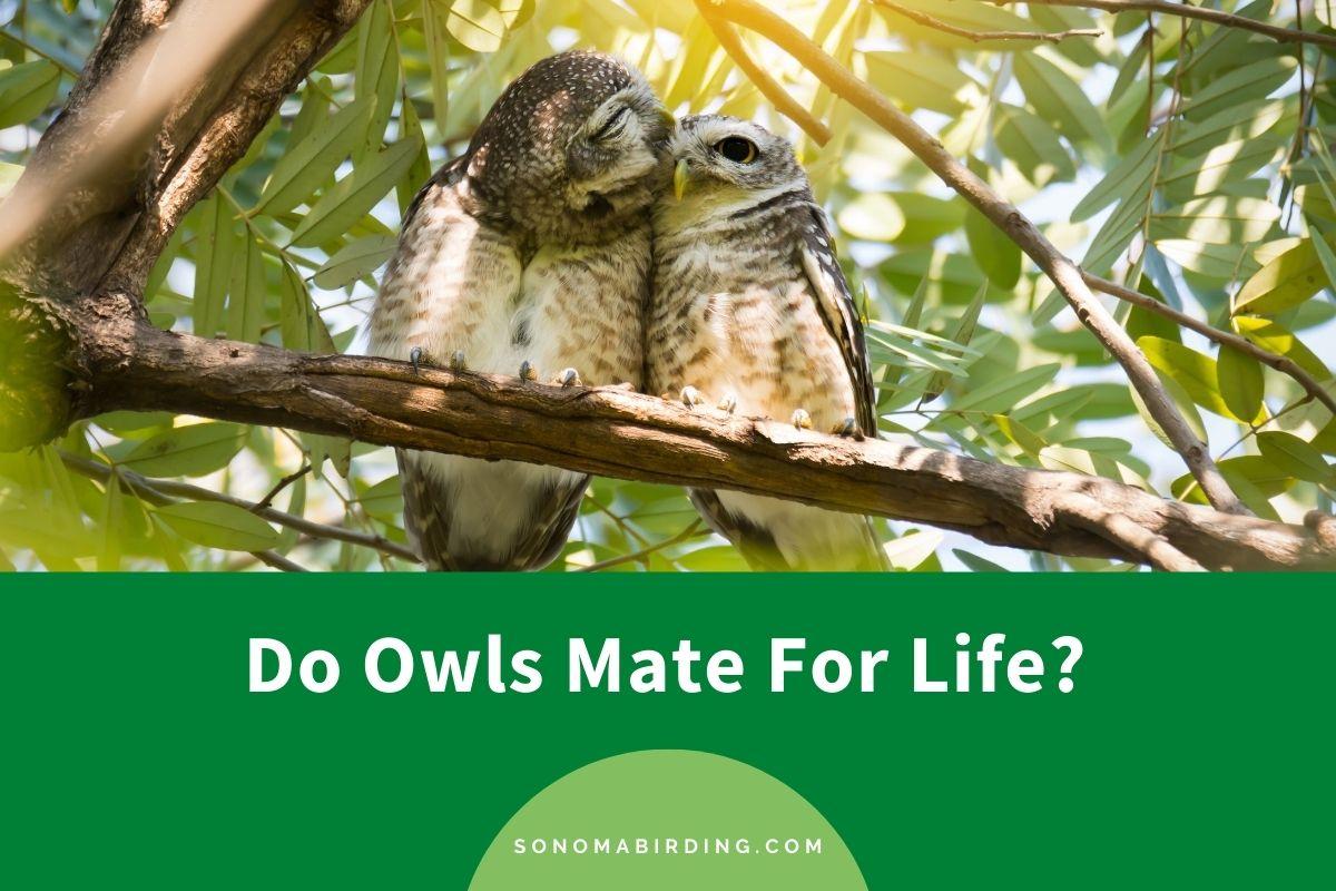 Do Owls Mate For Life