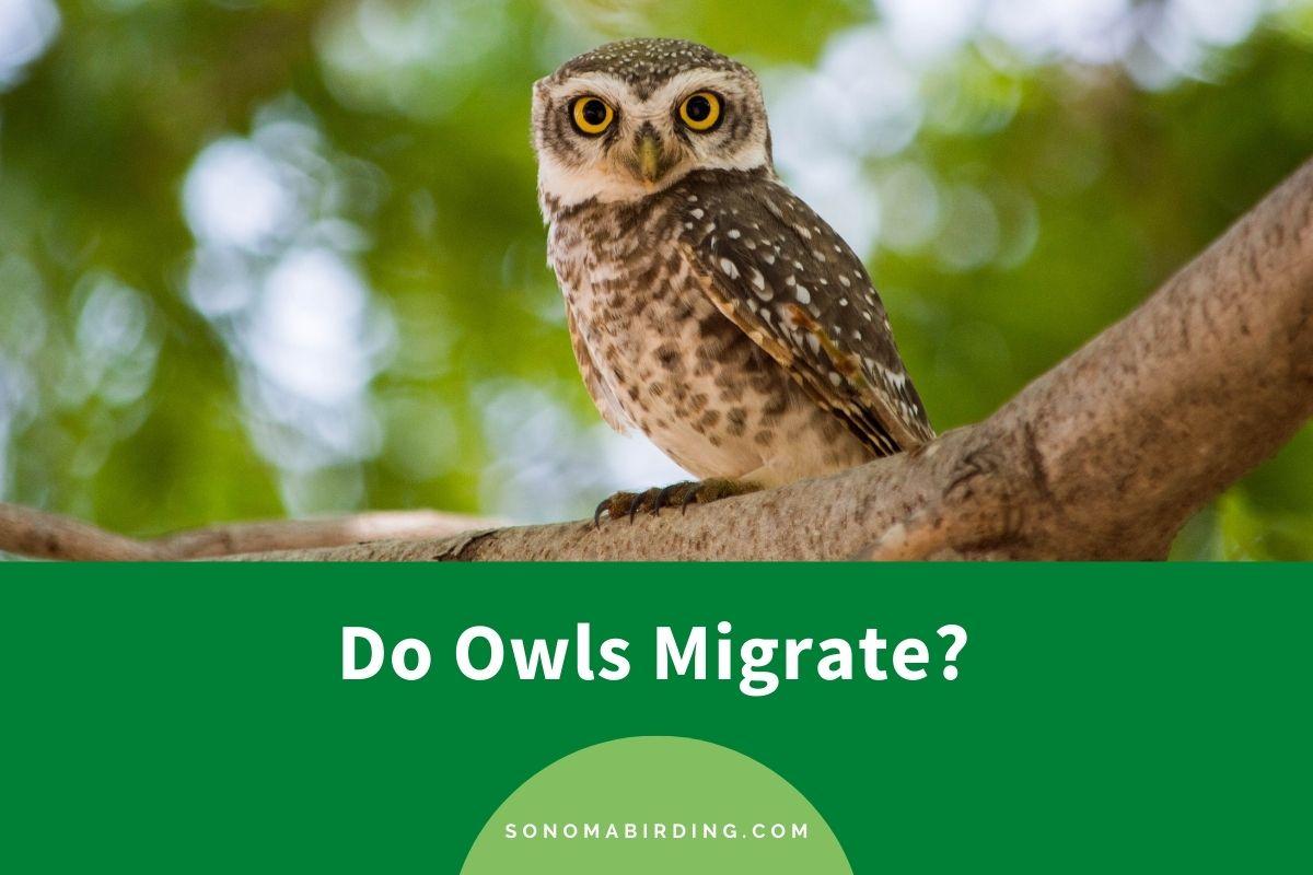 Do Owls Migrate