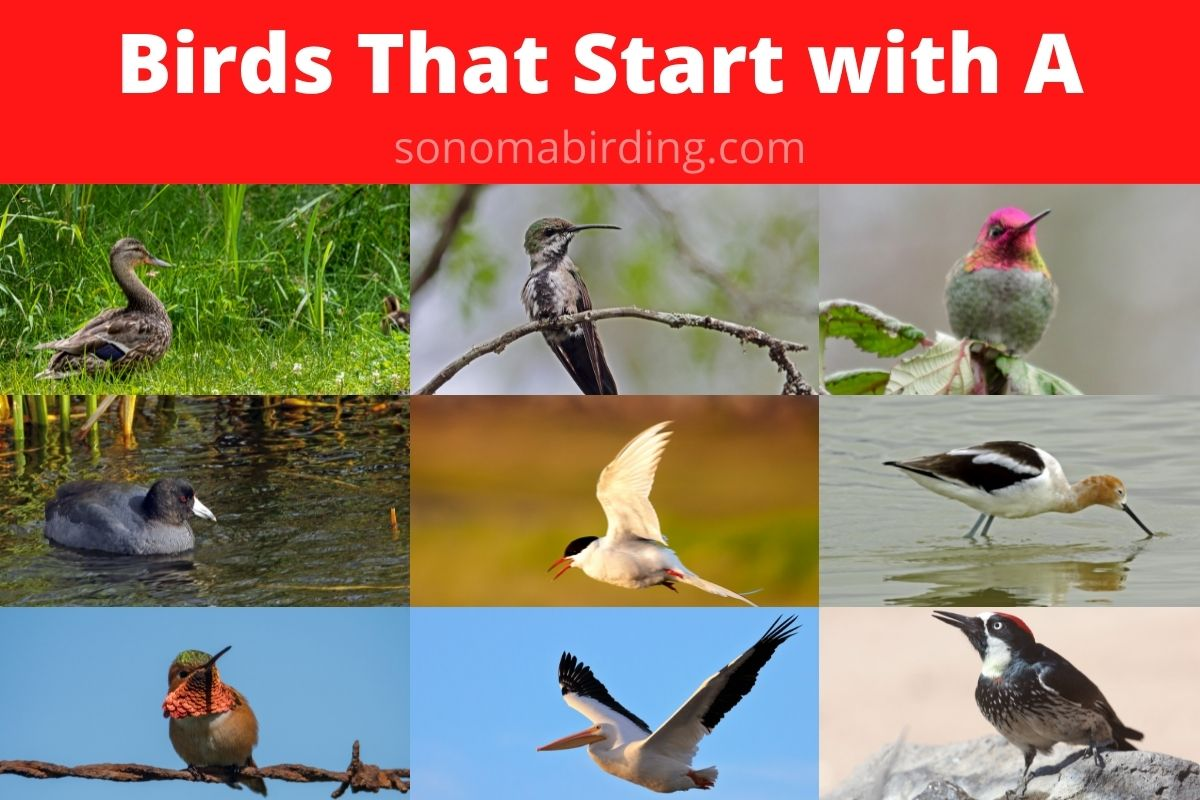 birds that start with A