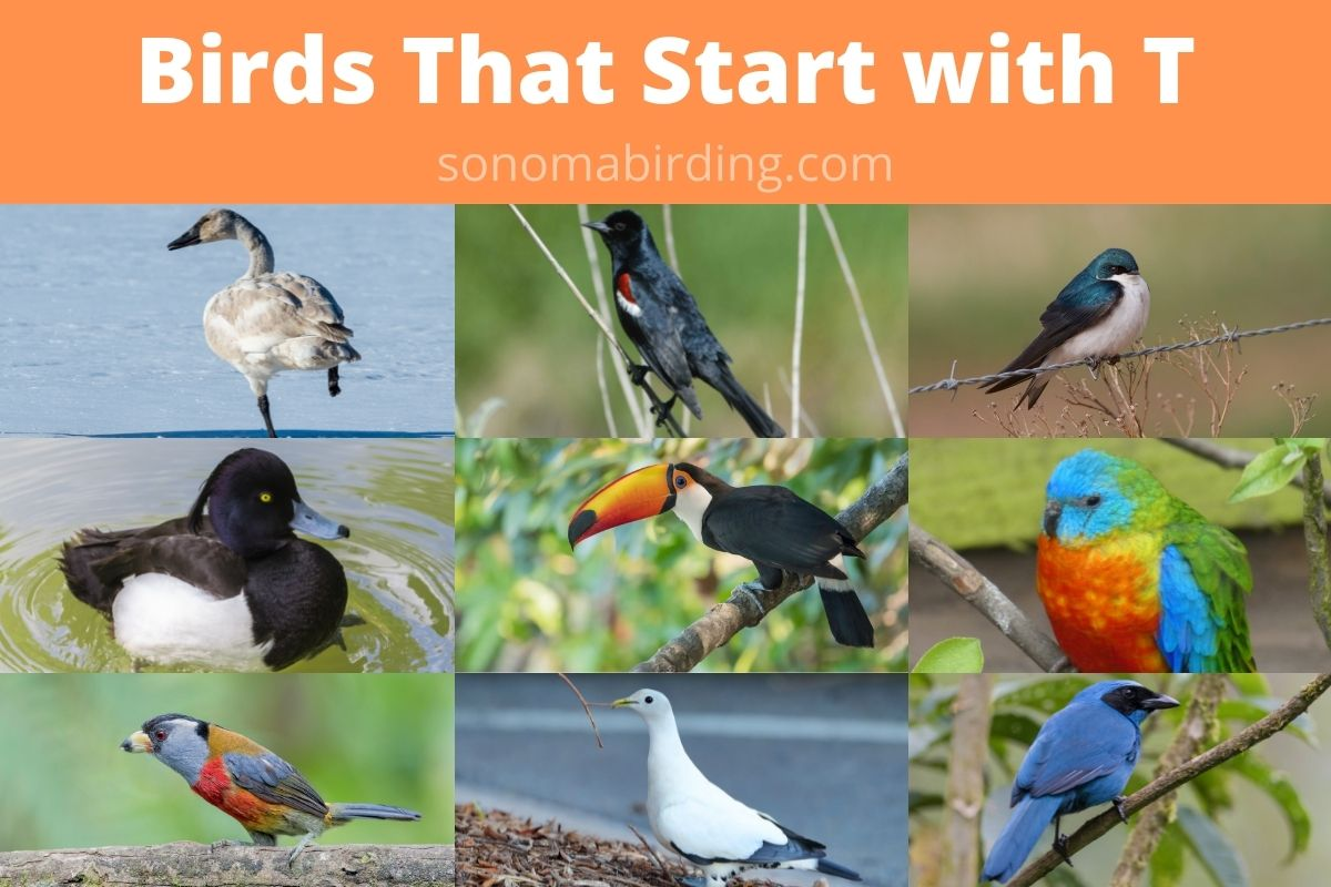 birds that start with T