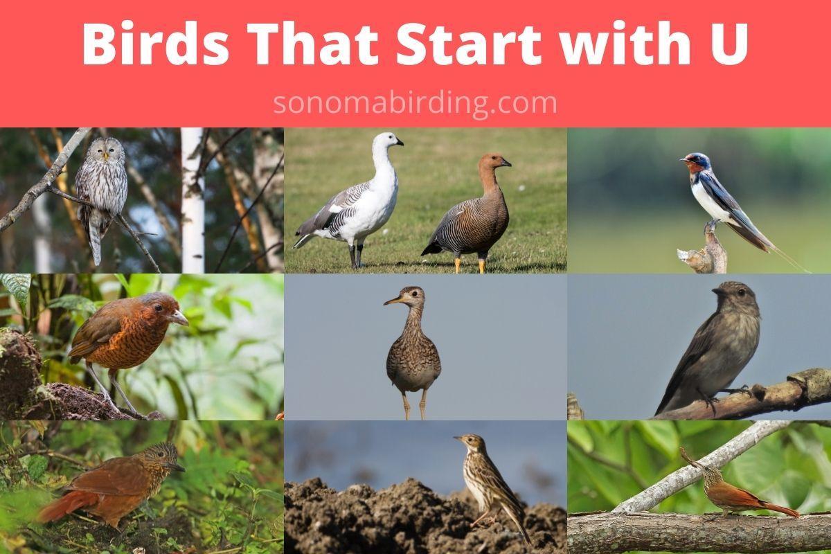birds that start with U