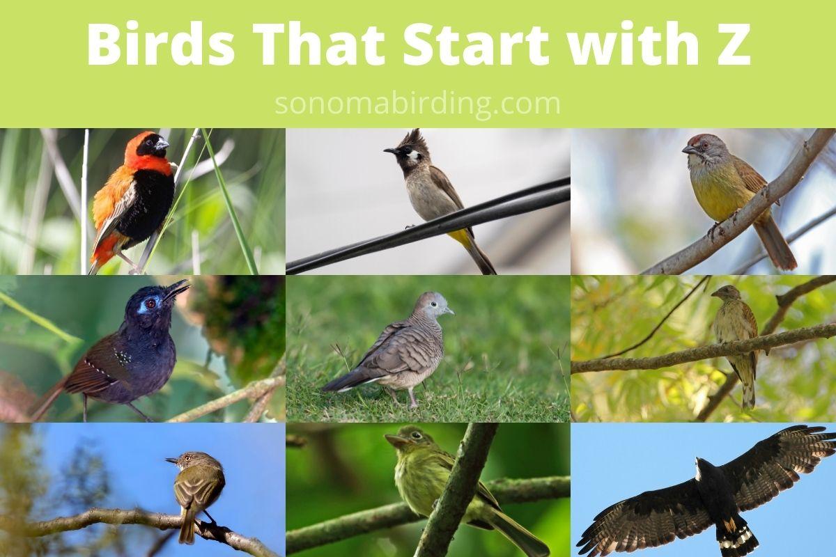birds that start with Z