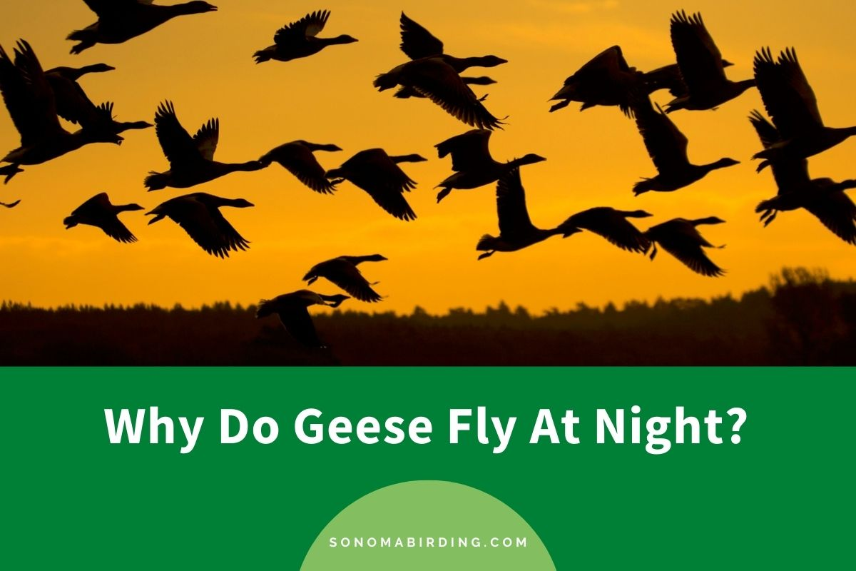 Why Do Geese Fly At Night